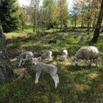 Sheep in Frösakull